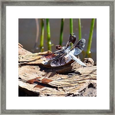 Whitetail Skimmer Framed Print