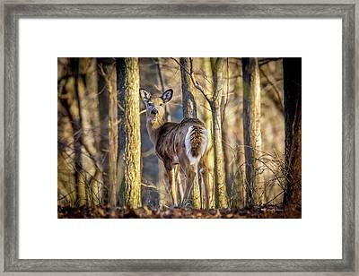 Whitetail Winter Morning Framed Print