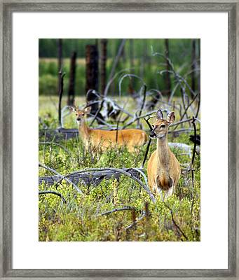 Whitetails Framed Print by Marty Koch