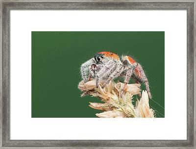 Whitman's Jumping Spider Framed Print by Derek Thornton