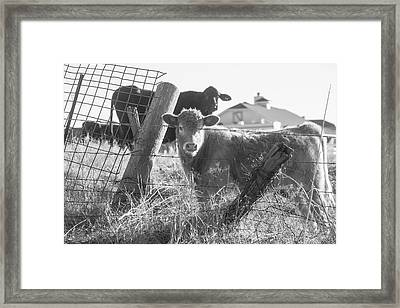 Who Are You, Angus Cows Seem To Ask Framed Print by Toni Hopper