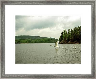 Whooper Swan Framed Print