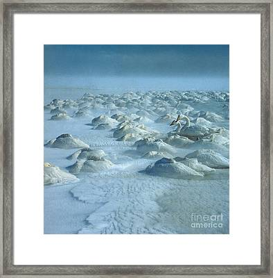 Whooper Swans In Snow Framed Print by Teiji Saga and Photo Researchers