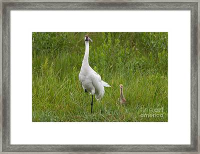 Whooping Crane And Chick Framed Print by Scott Nelson
