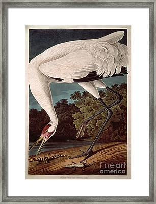 Whooping Crane Framed Print by John James Audubon