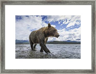 Wide Angle View Of Coastal Brown Bear Framed Print by Paul Souders