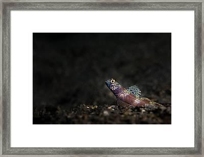 Wide-barred Shrimp Goby Framed Print