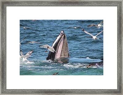 Wide Open Mouth Humpback Whale Framed Print