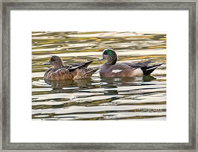 Wigeon Couple Framed Print by Kate Brown