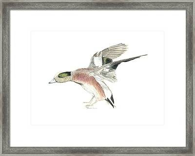 Wigeon Framed Print