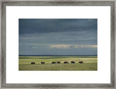 Wild American Bison Roam On A Ranch Framed Print by Joel Sartore