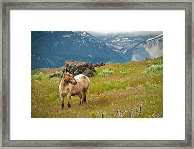 Wild Appaloosa Horse Framed Print