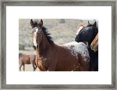 Wild Appaloosa Mustang Horse Framed Print
