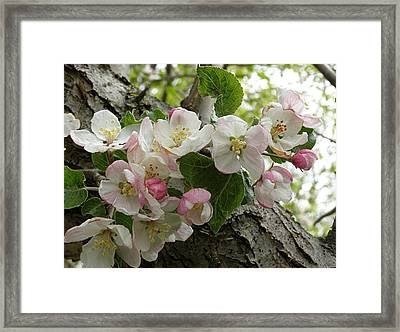 Framed Print featuring the photograph Wild Apple Blossoms by Angie Rea