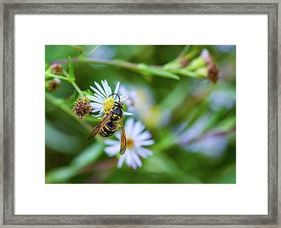 Wild Aster And Wasp Framed Print by Steve Harrington