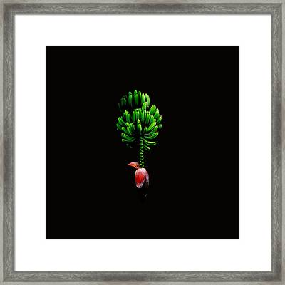 Wild Banana Bunch With Flower Color Framed Print by Kathy Daxon