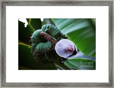 Wild Banana's Framed Print by Robert Meanor