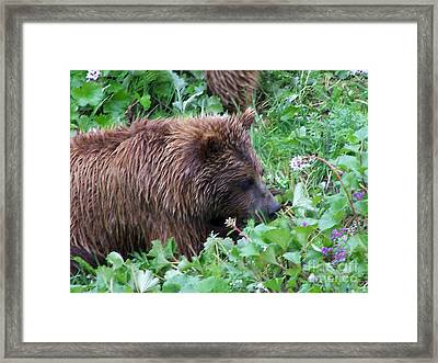 Wild Bear Eating Berries  Framed Print by Kathy  White