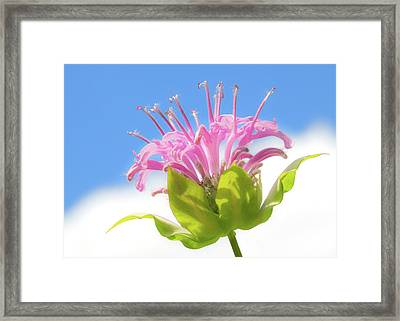 Wild Bergamot Or  Bee Balm Framed Print by Jim Hughes
