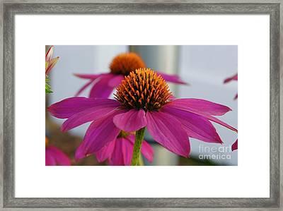 Wild Berry Coneflower Framed Print