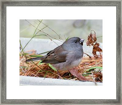 Framed Print featuring the photograph Wild Birds - Dark-eyed Junco by Kerri Farley
