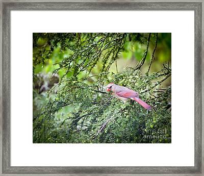 Wild Birds - Female Northern Cardinal In The Rain Framed Print by Kerri Farley