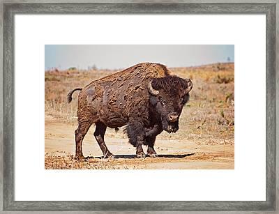 Wild Bison Framed Print