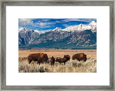 Wild Bison On The Open Range Framed Print