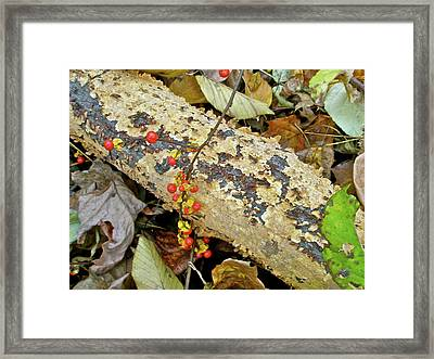 Wild Bittersweet Vine Framed Print by Mother Nature