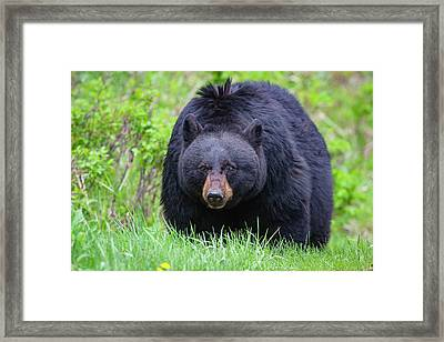 Wild Black Bear Framed Print