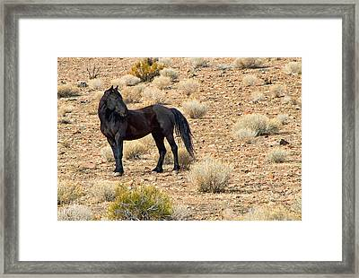Wild Black Mustang Stallion Framed Print