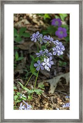 Wild Blue Phlox Framed Print