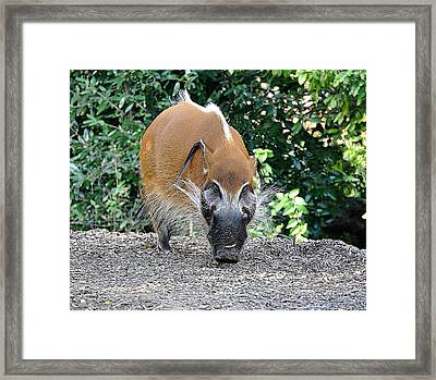 Wild Boar Framed Print by Jan Amiss Photography