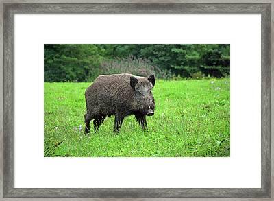 Wild Boar. Framed Print by Matic Zoran