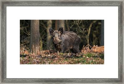 Wild Boar Sow And Young Framed Print