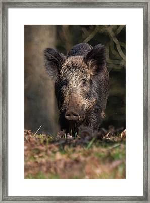 Wild Boar Sow Portrait Framed Print
