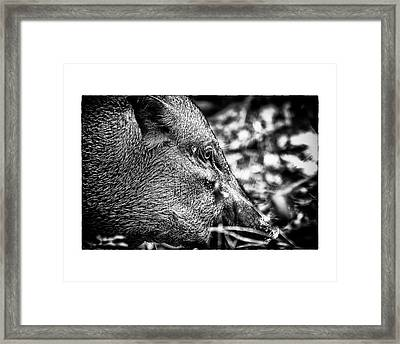 Framed Print featuring the photograph Wild Boar by Wade Courtney