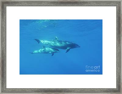 Wild Bottle-nosed Dolphin Mother And Calf Framed Print by Sami Sarkis