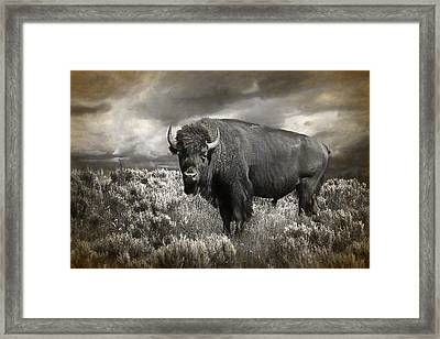Wild Buffalo In Yellowstone Framed Print