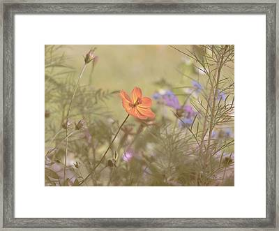 Wild California Poppy Framed Print