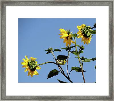 Wild Canary Sunflowers Framed Print by Shannon Grissom