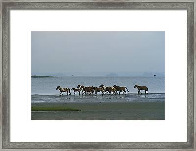 Wild Chincoteague Ponies Run Framed Print
