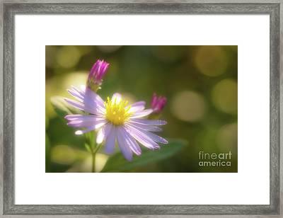 Wild Chrysanthemum Framed Print by Tatsuya Atarashi