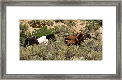 Wild Colorado Mustangs Framed Print