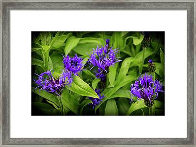 Wild Cornflowers In Iceland Framed Print by Venetia Featherstone-Witty