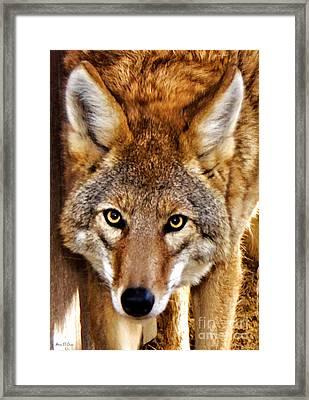 Wild Coyote Framed Print by Adam Olsen