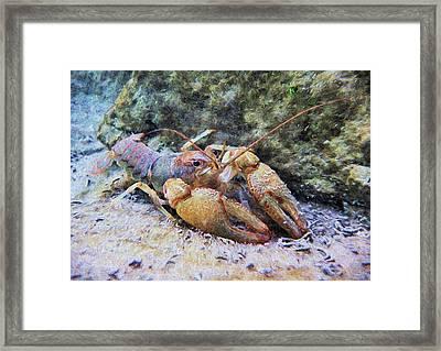 Wild Crawfish  Framed Print by JC Findley