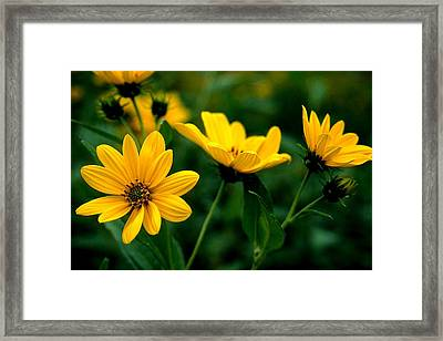 Wild Daisies Framed Print by Roger Soule
