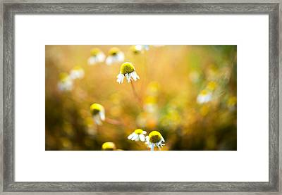 Wild Daisy Illusions Framed Print by Ron Day