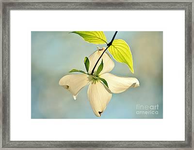 Wild Dogwood Bloom 2 Framed Print